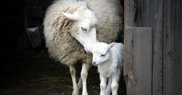 Закон 6: Запрет есть мясо, взятое от живого животного, гуманный забой скота.